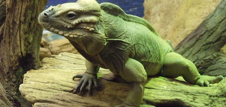 800px-Cyclura_cornuta_-London_Zoo2C_England-8a.jpg