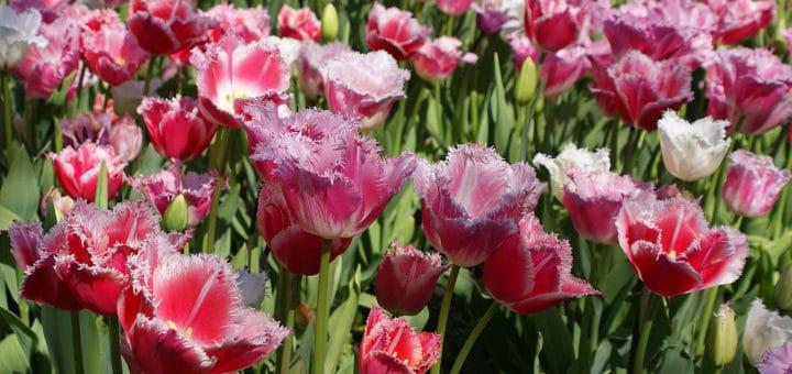 1024px-Tulips_1_28713697328129.jpg