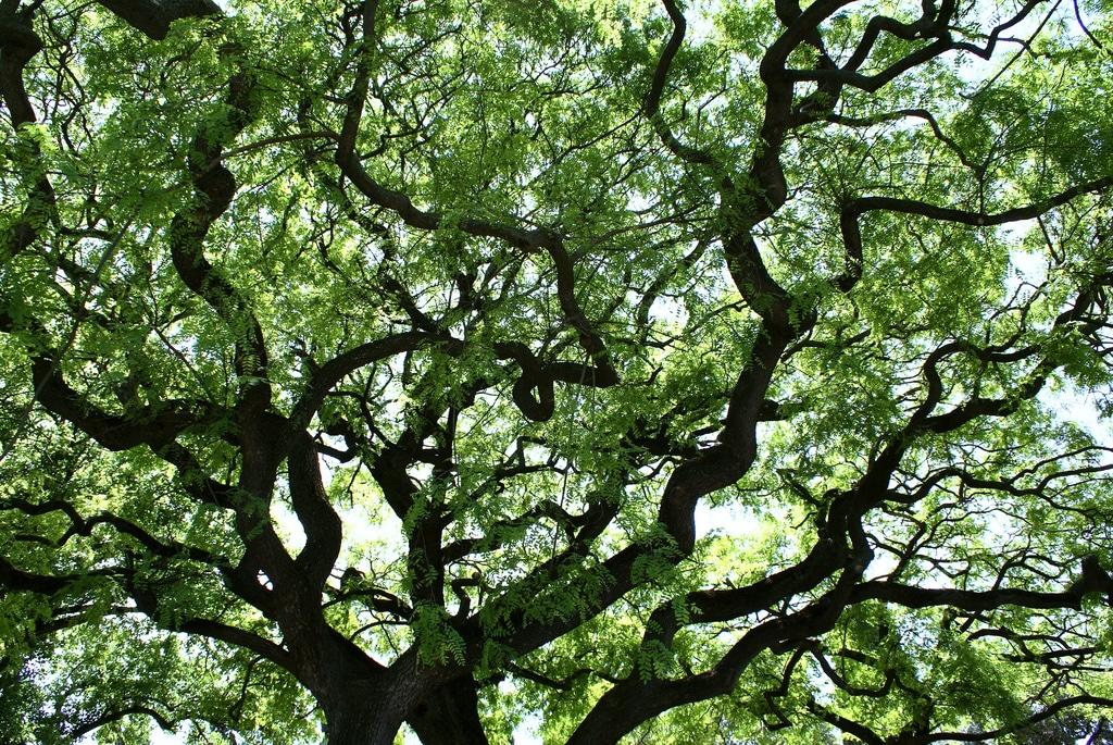Les plus beaux arbres de Lisbonne