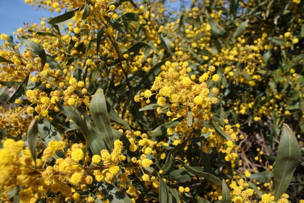 Mimosa en fleurs sur l'ilha de Culatra.