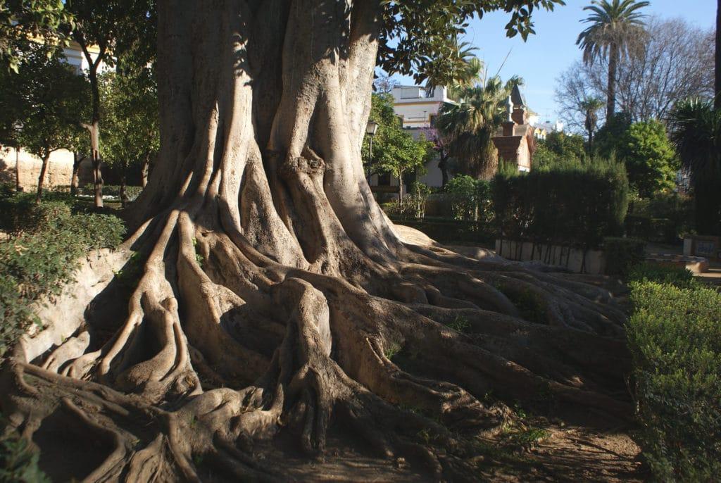 tentaculaire figuier de la baie de Moreton (Ficus macrophylla) dans les Jardins de Murillo à Séville.