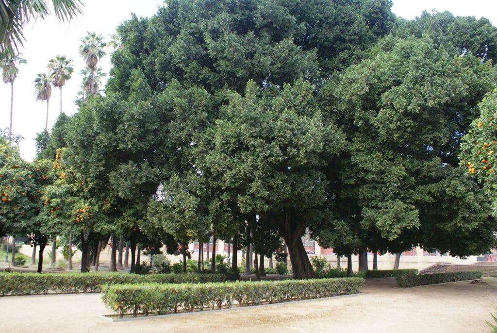 Arbre géant à proximité du parc Maria Luisa de Séville.