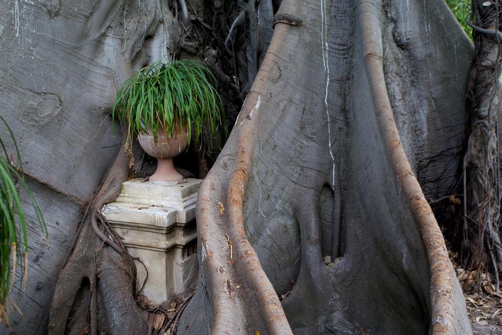 Jardin botanique de Palerme : Agrumes, ficus gigantesque… un brin délabré