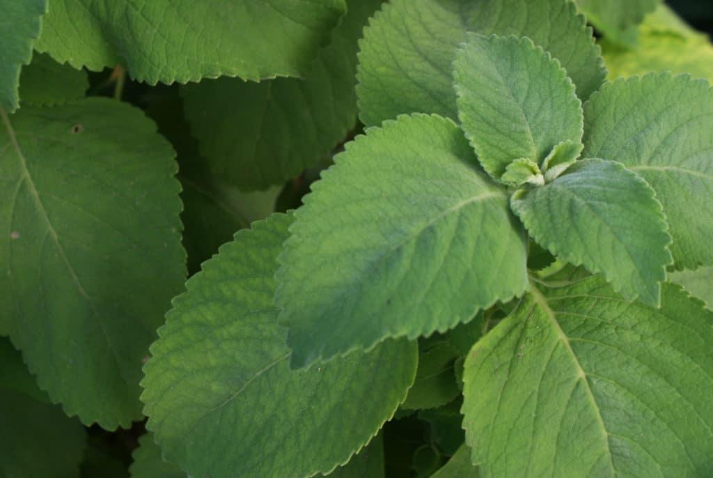 Impossible de trouver le nom de cette plante à l'odeur de pamplemousse.