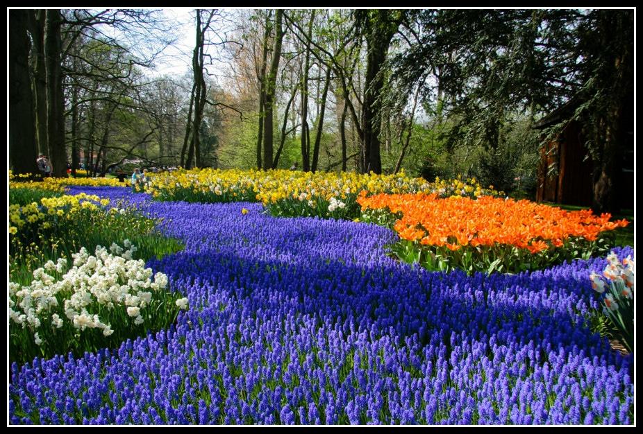 """Jardin de Keukenhof près d'Amsterdam : """"Une superbe creation florale dans le Keukenhof parc en Hollande ou des muscaris, ces petites fleurs bleues, forment comme une riviere de fleurs coulant le long de berges multicolores."""" Photo et texte de Patrick Mayon"""