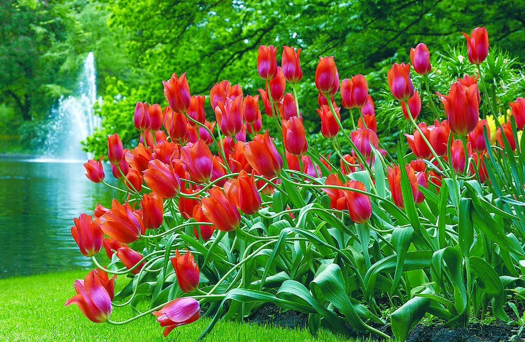 Tulipes dans le jardin de Keukenhof près d'Amsterdam - Photo de Viator.com