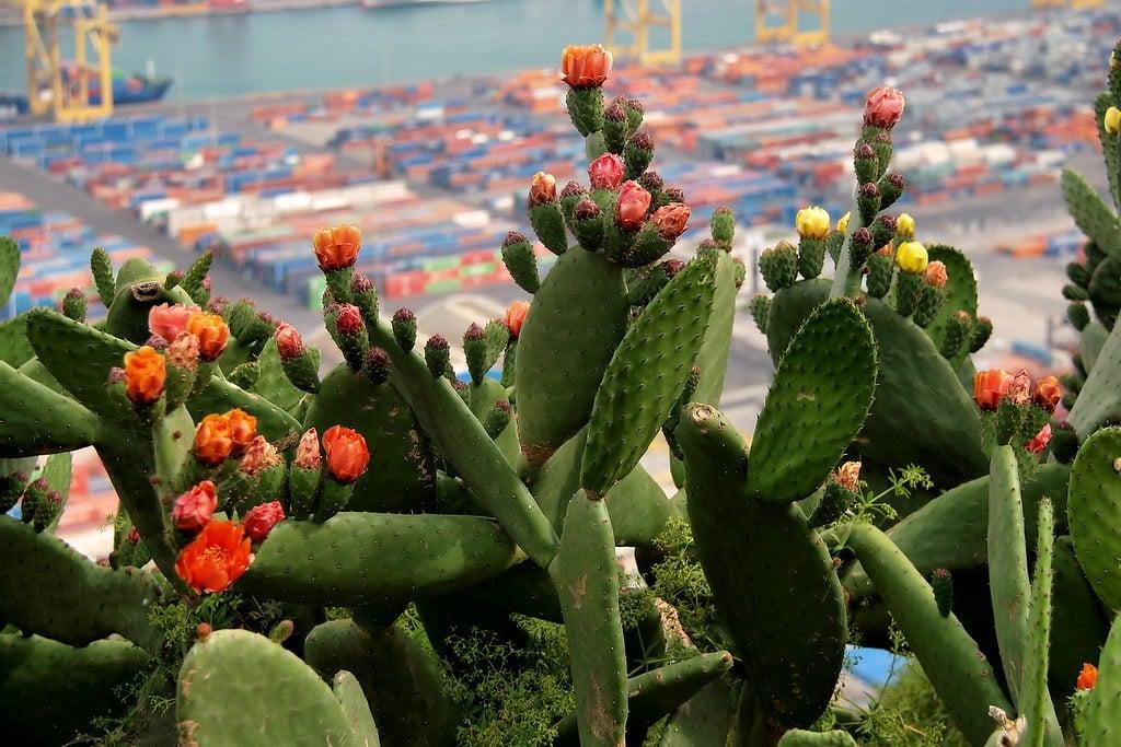 Cactus avec le port en arrière plan au chateau de Montjuic à Barcelone. Photo de Jorge Franganillo