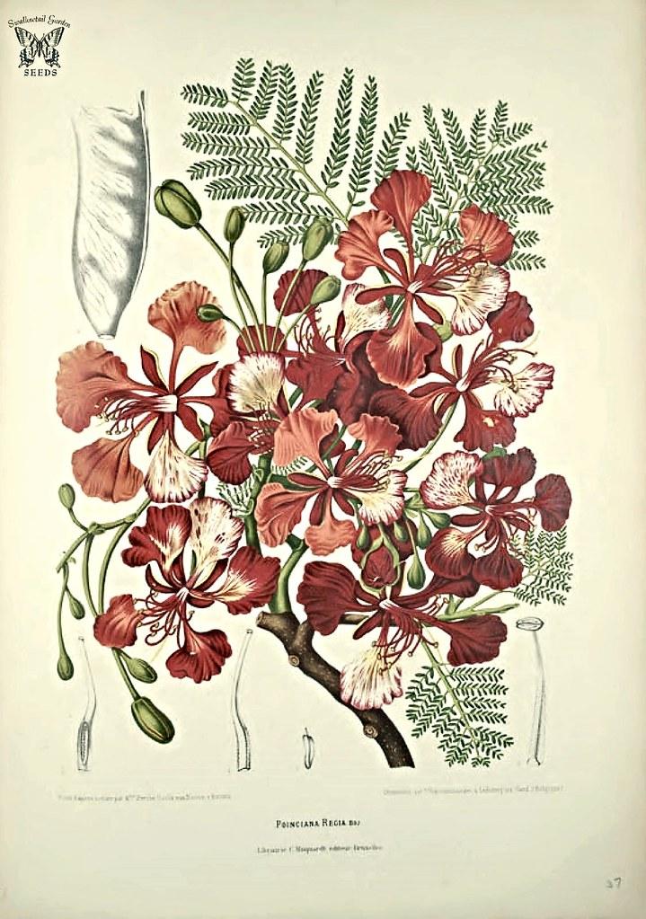 Dessin botanique du flamboyant - Image de Swallowtail Garden Seeds