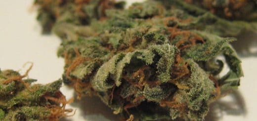 Cannabis - Photo de Terrazzo/Flickr