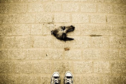 Pigeon mort à Cracovie par bildungsr0man@Flickr