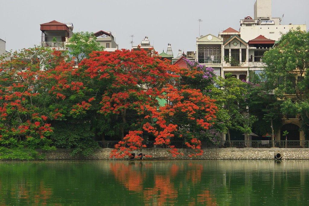 > Flamboyant en fleurs à Hanoi - Photo de Gavin White