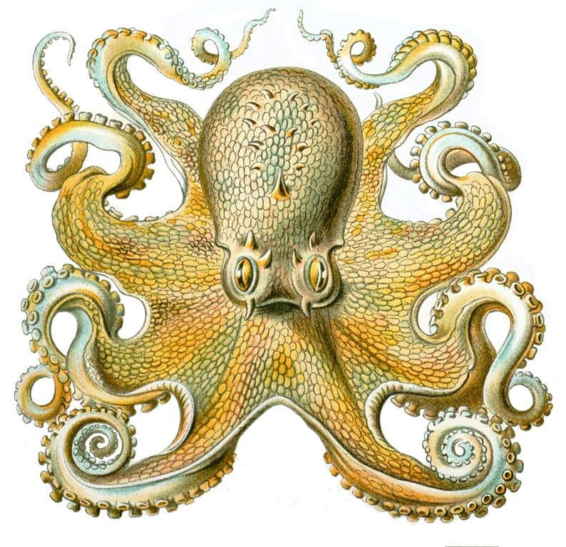 Illustration de pieuvre par Ernst Haeckel