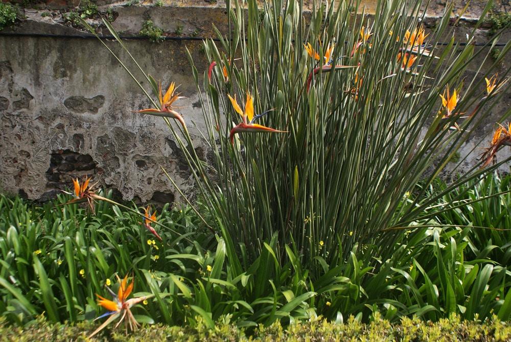 Strelitzias ou oiseaux du paradis au Jardin botanique d'Ajuda à Lisbonne.