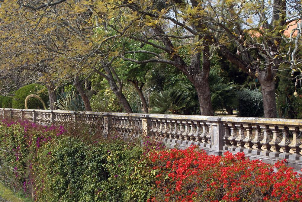 Bougainvillier surplombé par des acacias sur la terrasse du jardin botanique d'Ajuda à Lisbonne.