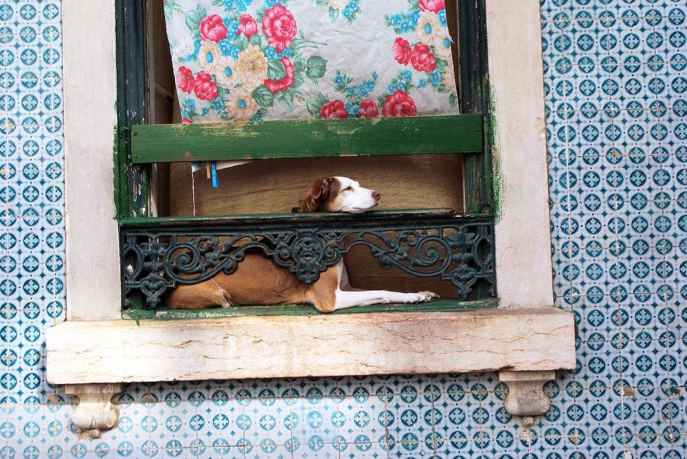 Chien lisboète à sa fenêtre : Tranquille et curieux.