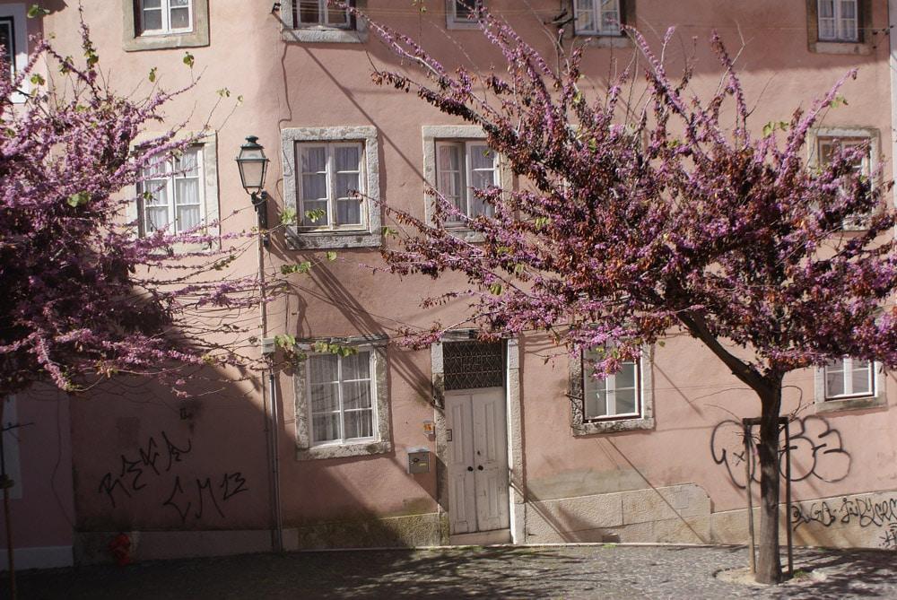 Un arbre en fleur au pied du quartier de Graça à Lisbonne.