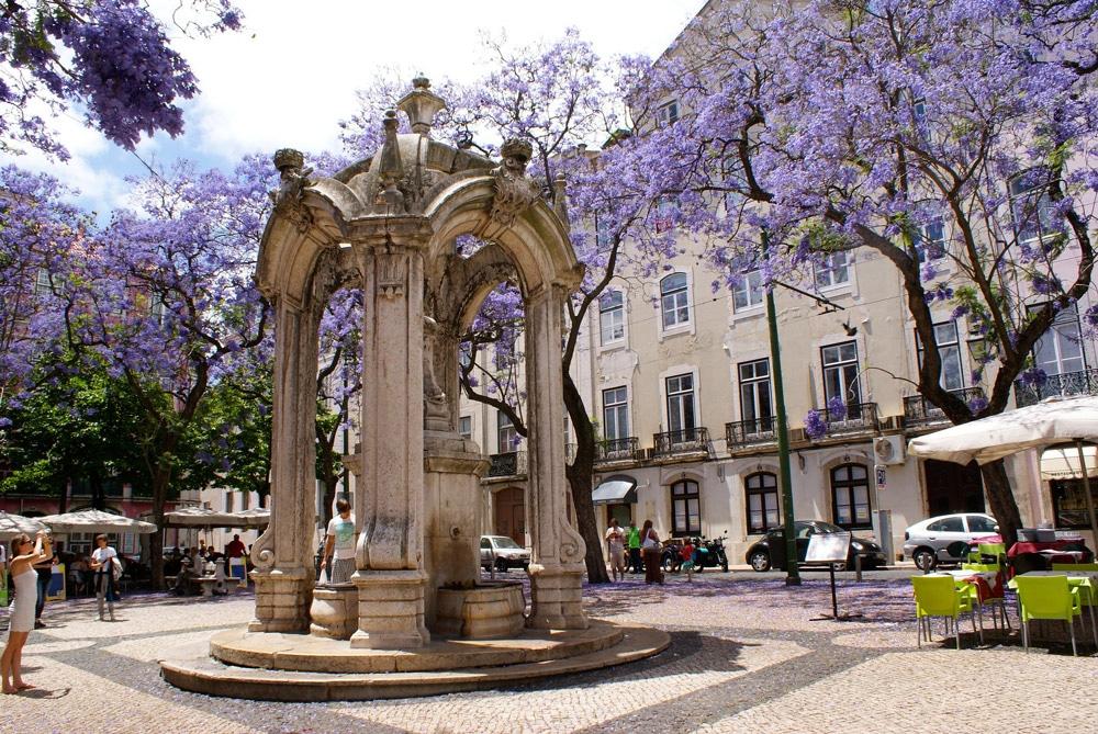 Place des Carmes devant l'église avec ses jaracandas en fleurs.