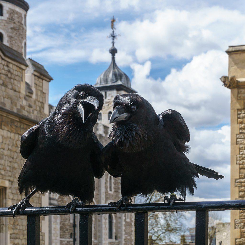 2 des corbeaux de la Tour de Londres : Jubilee et Munin - Photo de Colin Wikimedia commons CC BY SA 4.0