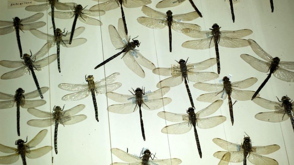 Nuée de libellules dans le musée d'histoire naturelle de Londres à Kensington.