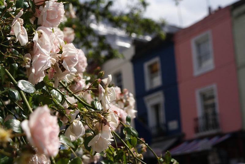 Façades colorées et roses en fleurs dans le quartier de Notting Hill à Londres.