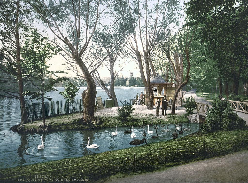 Cygnes dans le Parc de la Tête d'Or à Lyon vers 1900.
