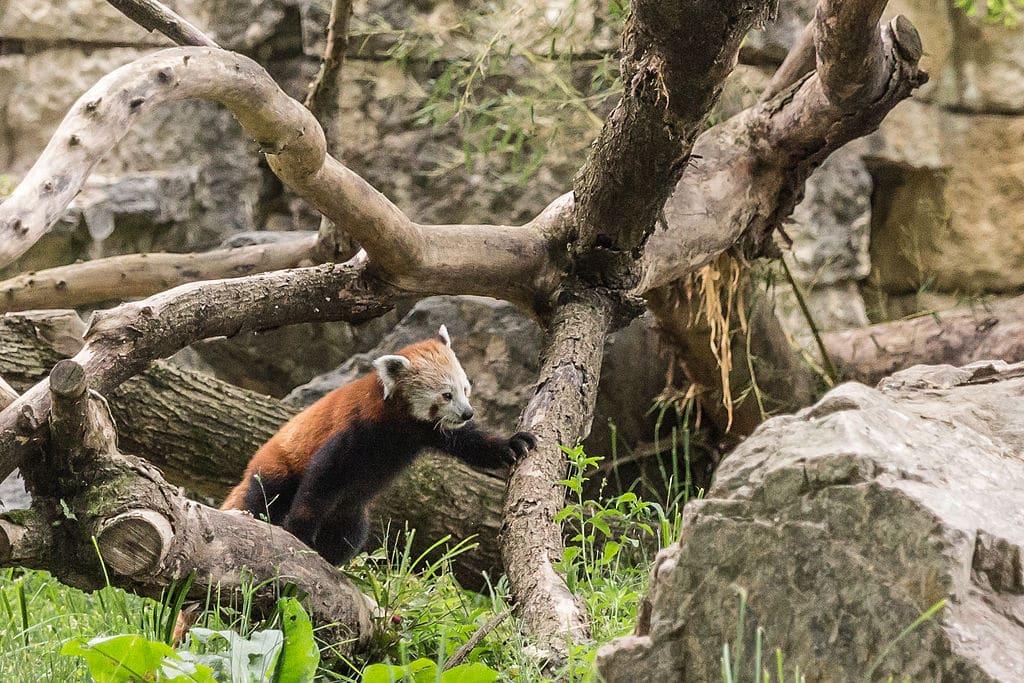 Panda roux dans le zoo du Parc de la Tête d'Or à Lyon - Photo de Medium 69 (William Crochot) - Wikicommons licence CC-BY-SA-4.0