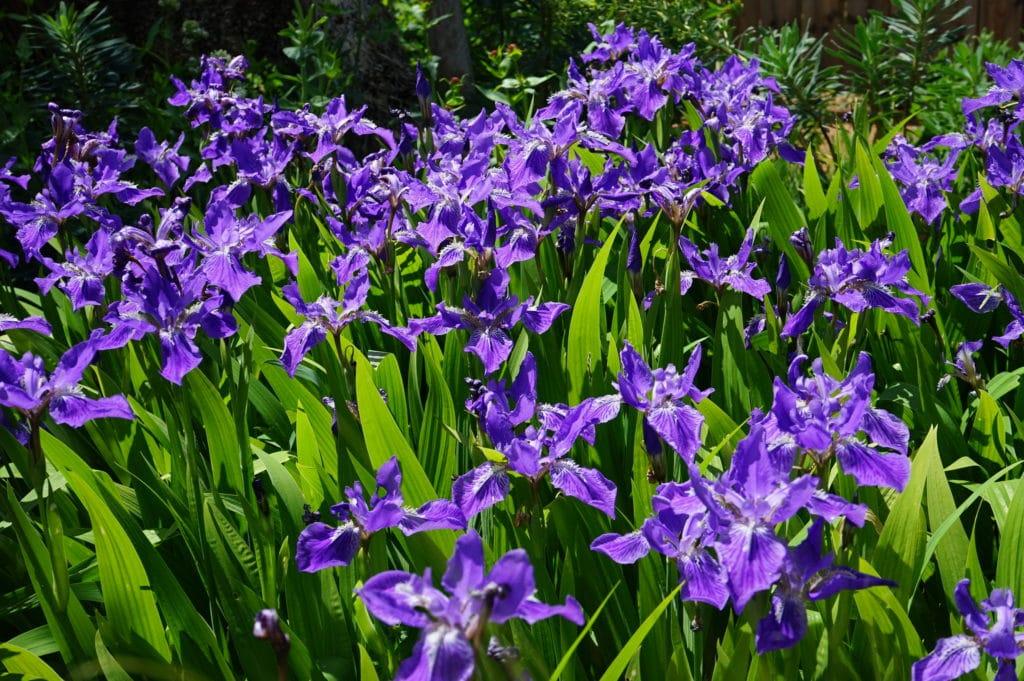Iris dans le parc de la Tête d'Or à Lyon.