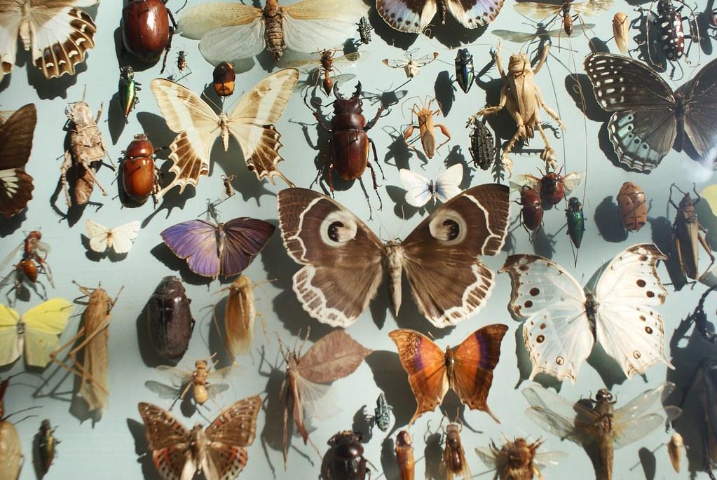 Tableau d'insectes au musée d'histoire naturelle d'Oxford.