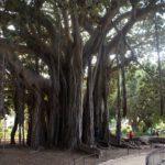 Jardin Garibaldi à Palerme : L'un des plus grands arbres d'Europe