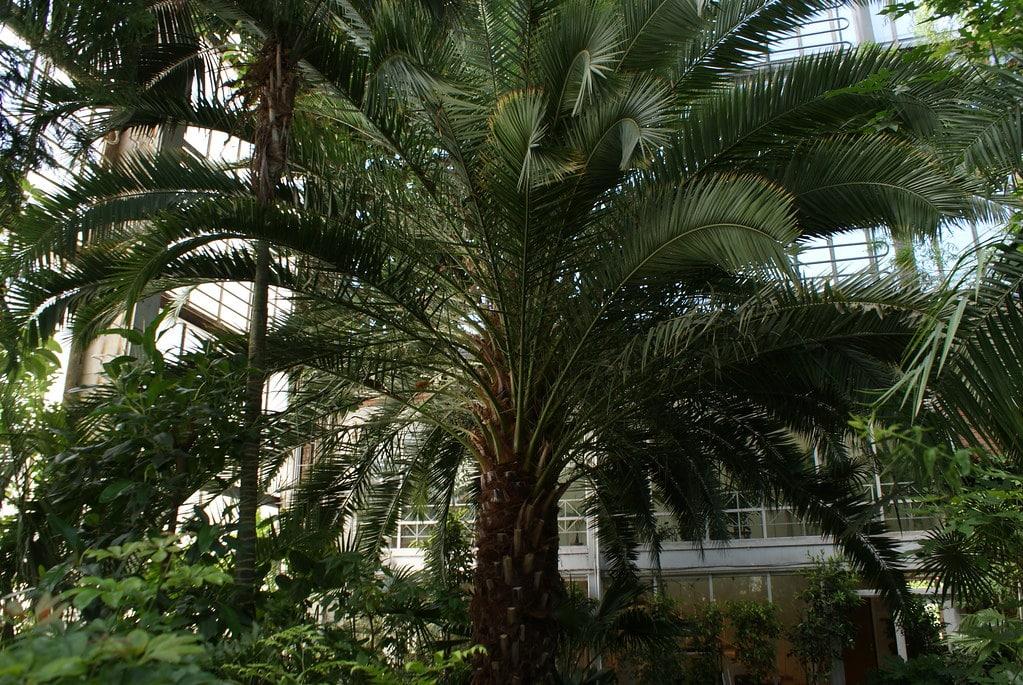 Palmier du jardin botanique de Riga : La meilleure raison de visiter le quartier de Pardaugava.