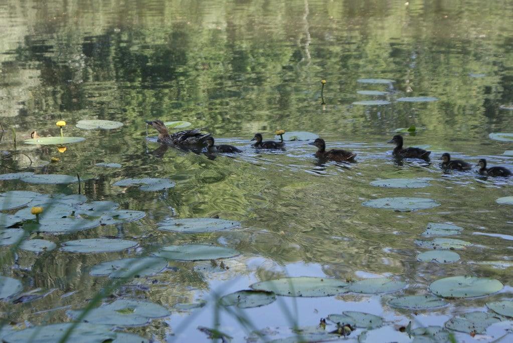 Canards sur le lac du parc de Wilanow au sud de Varsovie.